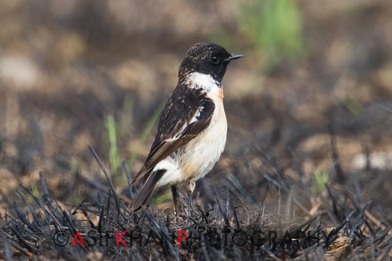 Siberian Stonechat (Saxicola maura) [黑喉石䳭 hēi-hóu shí-jí, 'black-throated stone chat'] at Beidaihe, Hebei, China