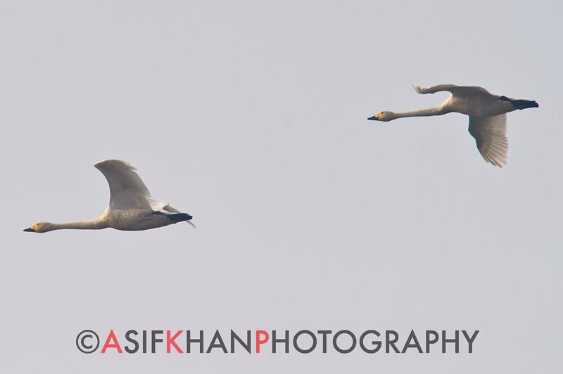 Tundra Swan (Cygnus columbianus) [小天鹅 xiǎo tiān-é, 'small sky-goose'] at Poyang Wetland, Wucheng, Jiangxi, China.