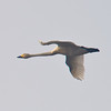 Tundra Swan (Cygnus columbianus) [小天鹅 xiǎo tiān-é, 'small sky-goose'] at Poyang Wetland, Wucheng, Jiangxi, China.