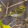 Pallas's Leaf Warbler (Phylloscopus proregulus) [黄腰柳莺 huáng-yāo liǔ-yīng, 'yellow-rumped willow warbler'] at Beidaihe, Hebei, China
