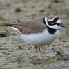 Little Ringed Plover (Charadrius dubius) [金眶鸻 jīn-kuàng héng, 'gold frame plover'] at San Jia Gang, Shanghai, China