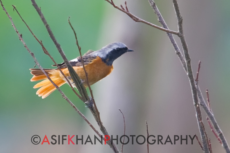 Daurian Redstart (Phoenicurus auroreus) [北红尾鸲 běi hóng-wěi-qú, 'northern red-tailed robin'] at Chongming Island, Shanghai, China.