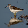 Common Greenshank (Tringa nebularia) [青脚鹬 qīng-jiǎo yú, 'green-legged yu'] near Happy Island, Hebei, China