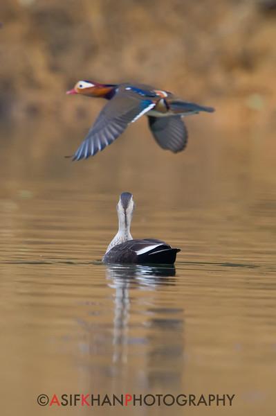 Spot-billed duck (Anas poecilorhyncha) [斑嘴鸭 bān-zuǐ yā, 'spot-billed duck'] watching Mandarin Duck (Aix galericulata) [鸳鸯 yuān-yang, 'yuan-yang'] in flight at Yuanyang Lake ( Datangwu Resorvior), Wuyuan, China.