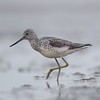Common Greenshank (Tringa nebularia) [青脚鹬 qīng-jiǎo yú, 'green-legged yu'] at Beidaihe, Hebei, China