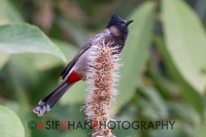 Red-Vented Bulbul (Pycnonotus cafer) [黑喉红臀鹎 hēi-hóu hóng-tún bēi, 'black-throated red-bottomed bulbul'] at Nanjingli Ridge, Ruili, Yunnan, China