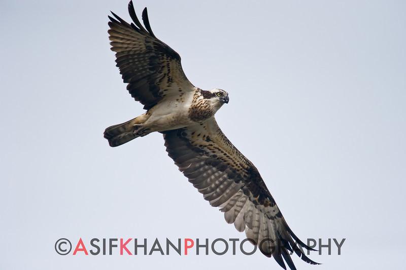 Osprey (Pandion haliaetus) [鹗 è, 'osprey'] at Nanhui, Shanghai, China.