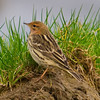 Red Throated Pipit (Anthus cervinus) [红喉鹨 hóng-hóu liù, 'red-throated pipit'] at San Jia Gang, Shanghai, China