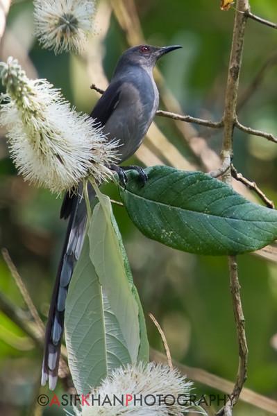 Long-Tailed Sibia (Heterophasia picaoides) [长尾奇鹛 cháng-wěi qí-méi, 'long-tailed rare babbler'] at Nanjingli Ridge, Ruili, Yunnan, China