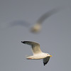 Vega Gull (Larus vegae) [西伯利亚银鸥 Xībólìyà yín-ōu, 'Siberian silver gull'] at Xinyanggang / Yancheng, Jiangsu, China.