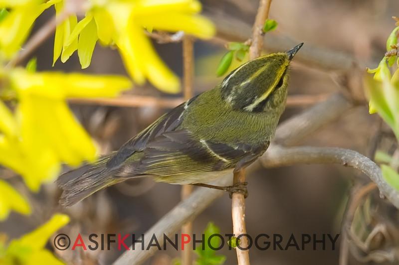 Pallas's Leaf Warbler (Phylloscopus proregulus) [黄腰柳莺 huáng-yāo liǔ-yīng, 'yellow-rumped willow warbler'] at Beidaihe, Hebei, China