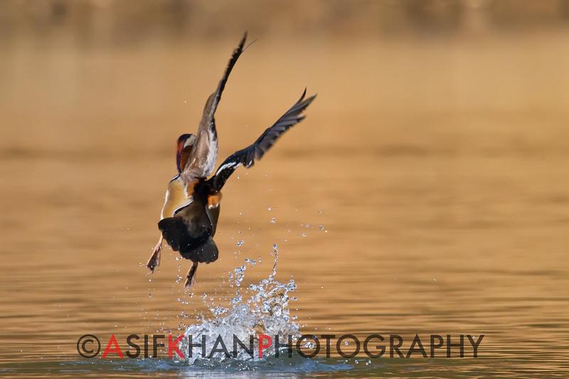 Mandarin Duck (Aix galericulata) [鸳鸯 yuān-yang, 'yuan-yang'] taking off at Yuanyang Lake ( Datangwu Resorvior), Wuyuan, China.