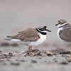 Little Ringed Plover (Charadrius dubius) [金眶鸻 jīn-kuàng héng, 'gold frame plover'] at Beidaihe, Hebei, China