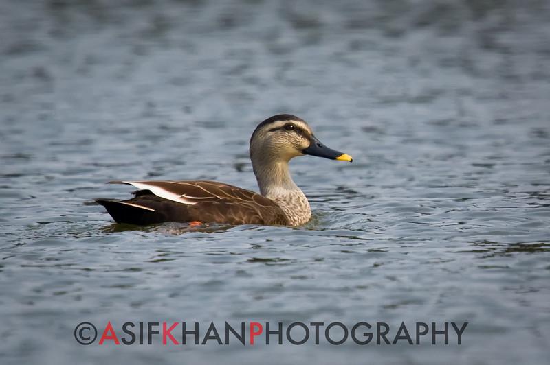 Spot-billed duck (Anas poecilorhyncha) [斑嘴鸭 bān-zuǐ yā, 'spot-billed duck'] at Yuanyang Lake ( Datangwu Resorvior), Wuyuan, China.