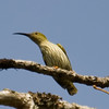 Streaked Spiderhunter (Arachnothera magna) [纹背捕蛛鸟 wén-bèi bǔ-zhū-niǎo, 'fine-pattern-backed catch-spider-bird'] at Moli, Ruili, Yunnan, China