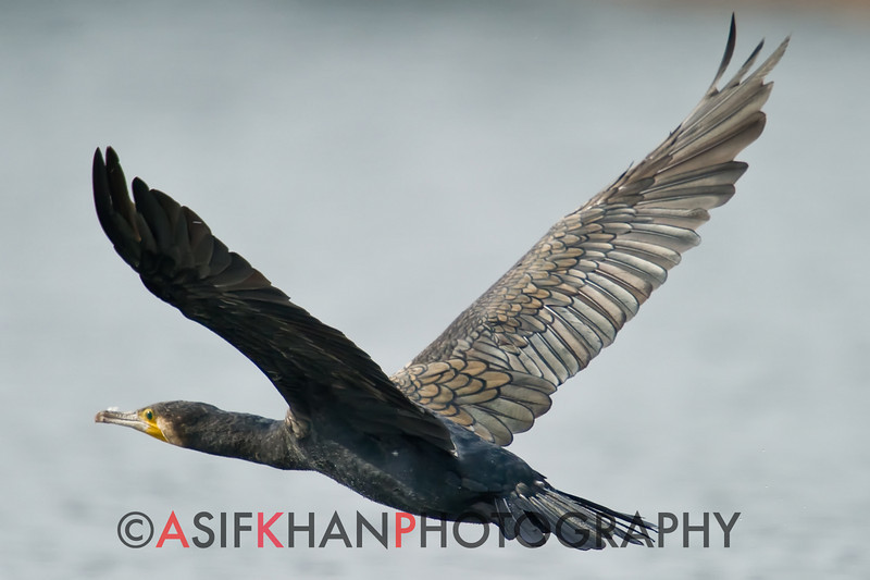 Great Cormorant (Phalacrocorax carbo) [普通鸬鹚 pǔtōng lúcí, 'common cormorant'] in flight at Yuanyang Lake ( Datangwu Resorvior), Wuyuan, China.