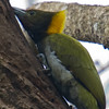 Greater Yellownape (Picus flavinucha) [大黄冠啄木鸟 dà huáng-guàn zhuó-mù-niǎo, 'large yellow-crested wood-pecking bird'] at Nanjingli Ridge, Ruili, Yunnan, China