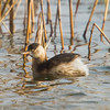 Little Grebe (Podiceps ruficollis) [小䴙䴘 xiǎo pìtī, 'small grebe'] at Nanhui, Shanghai, China.