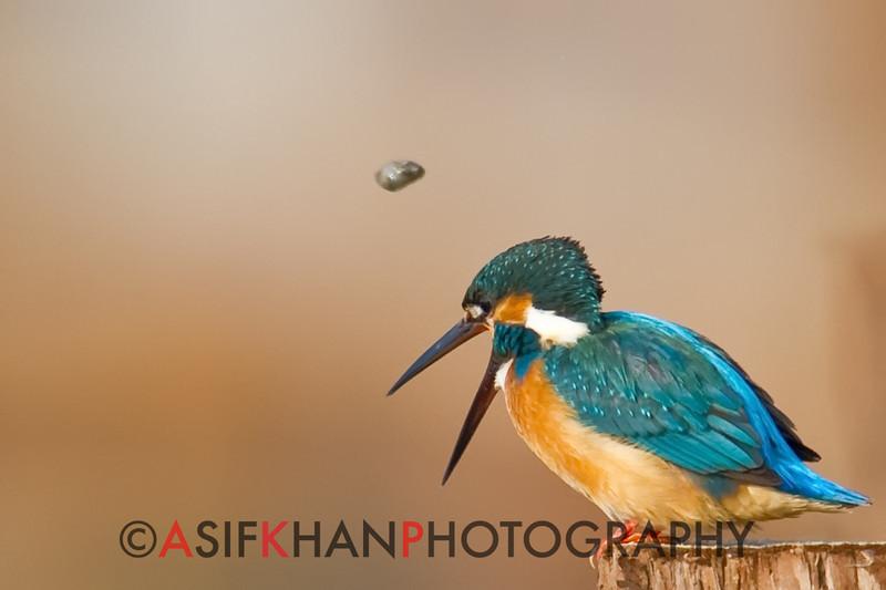 Common Kingfisher (Alcedo atthis) [普通翠鸟 pǔtōng cuì-niǎo, 'common cui bird'] regurgitating fish scales & bones at Nanhui, Shanghai, China.