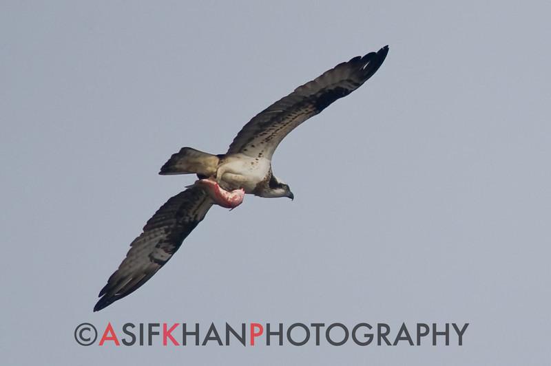 Osprey (Pandion haliaetus) [鹗 è, 'osprey'] with fish at Nanhui, Shanghai, China.