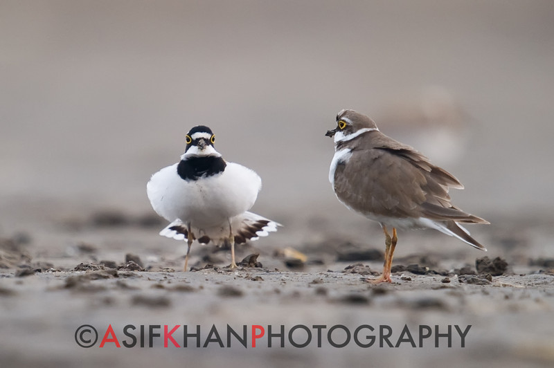 Little Ringed Plover (Charadrius dubius) [金眶鸻 jīn-kuàng héng, 'gold frame plover'] in courtship display at Beidaihe, Hebei, China