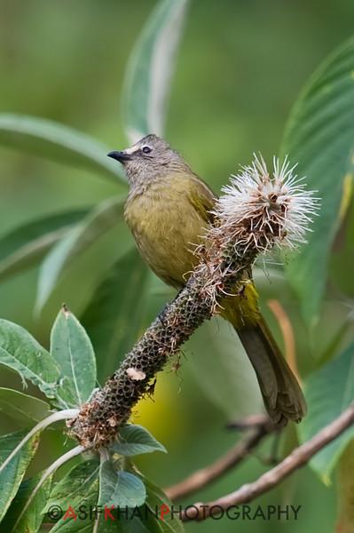 Flavescent Bulbutl (Pycnonotus flavescens) [黄绿鹎 huáng lǜ bēi, 'yellow-green bulbul'] at Nanjingli Ridge, Ruili, Yunnan, China
