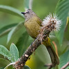 Flavescent Bulbutl (Pycnonotus flavescens) [黄绿鹎 huáng lǜ bēi, 'yellow-green bulbul'] at Nanjingli Ridge, Ruili, Yunnan, China
