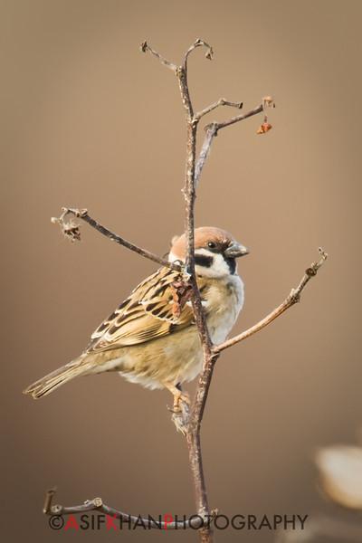 Eurasian Tree Sparrow (Passer montanus) [麻雀 má-què, 'sparrow'] at Nanhui, Shanghai, China.