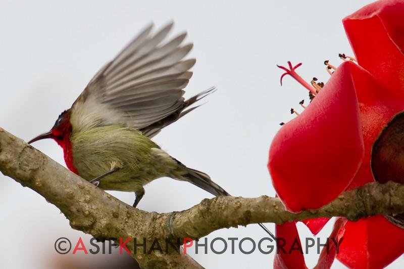 Crimson Sunbird (Aethopyga siparaja) [黄腰太阳鸟 huáng-yāo tàiyáng-niǎo, 'yellow-rumped sun-bird'] at Sheng Tai Yuan, Ruili, Yunnan, China
