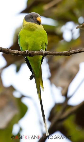 Plum Headed Parakeet (Psittacula cyanocephala) at Sinhagad Valley, Pune, Maharashtra, India.