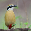 Indian Pitta (Pitta brachyura) at Hingolgadh, Gujarat, India. [This shot went out of focus, but I love the composition, so have included here in the gallery]