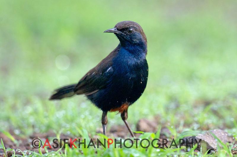 Indian Robin (Saxicoloides fulicatus) at Hingolgadh, Gujarat, India.