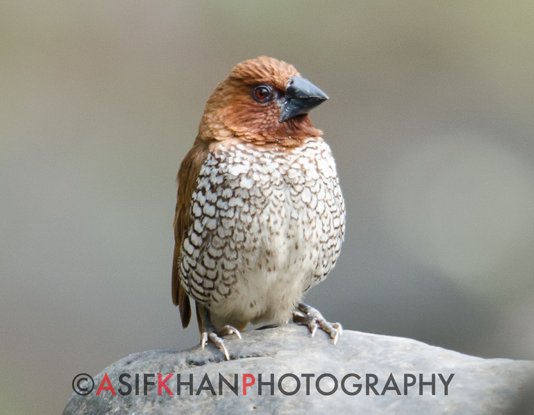 Scaly Breasted Munia(Lonchura punctulata) at Sinhagad Valley, Pune, Maharashrta, India.