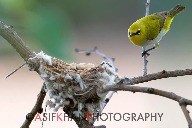Oriental White-eye (Zosterops palpebrosus) checking out nest of Asian Paradise Flycatcher (Terpsiphone paradisi) at Hingolgadh, Gujarat, India.