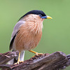 Brahminy Starling (Sturnia pagodarum) at Hingolgadh, Gujarat, India.