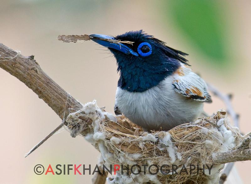 Asian Paradise Flycatcher (Terpsiphone paradisi) at Hingolgadh, Gujarat, India.