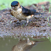 Red-rumped Swallow (Cecropis daurica) at Hingolgadh, Gujarat, India.