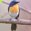 Tickell's Blue Flycatcher (Cyornis tickelliae) at Hingolgadh, Gujarat, India.