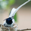 Asian Paradise Flycatcher (Terpsiphone paradisi) at Hingolgadh, Gujarat, India.