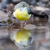 Grey Wagtail (Motacilla cinerea) at Sinhagad Valley, Pune, Maharashtra, India.