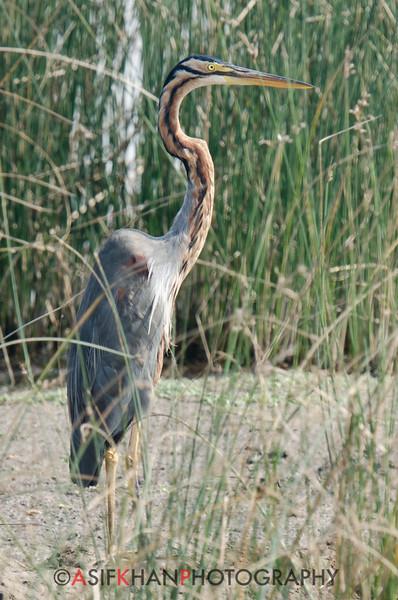 Purple Heron (Ardea purpurea) at Velavadar National Park, Velavadar, Gujarat, India.