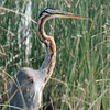 Purple Heron (Ardea purpurea) at Velavadar National Park, Velavadar, Gujarat, India.