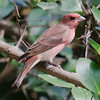 Common Rosefinch (Carpodacus erythrinus) at Sinhagad Valley, Pune, Maharashrta, India.