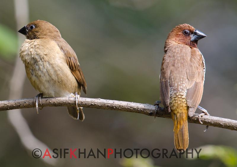 Scaly Breasted Munia(Lonchura punctulata) at Sinhagad Valley, Pune, Maharashrta, India.