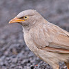 Jungle Babbler (Turdoides striatus) at Hingolgadh, Gujarat, India.