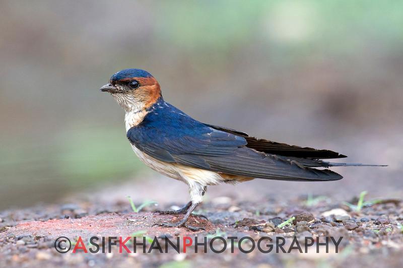 Red-rumped Swallow (Cecropis daurica) at Hingolgadh, Gujarat, India.