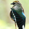 Indian Pitta (Pitta brachyura) at Hingolgadh, Gujarat, India.