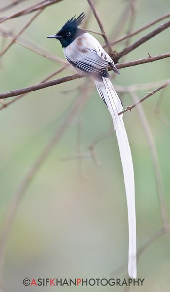 Asian Paradise Flycatcher (Terpsiphone paradisi) at Sinhagad Valley, Pune, Maharashrta, India.