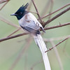 Asian Paradise Flycatcher (Terpsiphone paradisi) at Sinhagad Valley, Pune, Maharashrta, India.