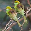 Green Bee-eater(Merops orientalis) at Gir National Park, Sasan, Gujarat, India.